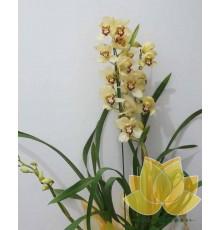 Orquidea Simbídio