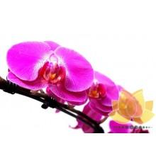 Phalaenopsis Lilás